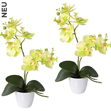 Orchidee im 2er-Pack
